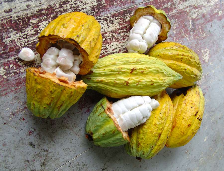 raw cocoa plant