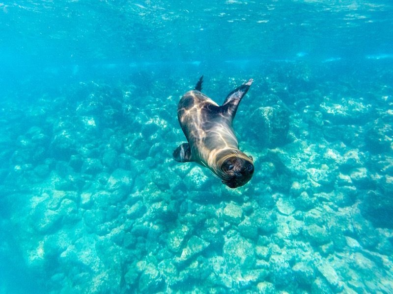 Snorkelling with Galapagos Sea Lions