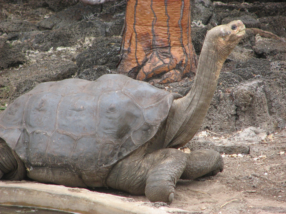 Lonesome George, Pinta Tortoise
