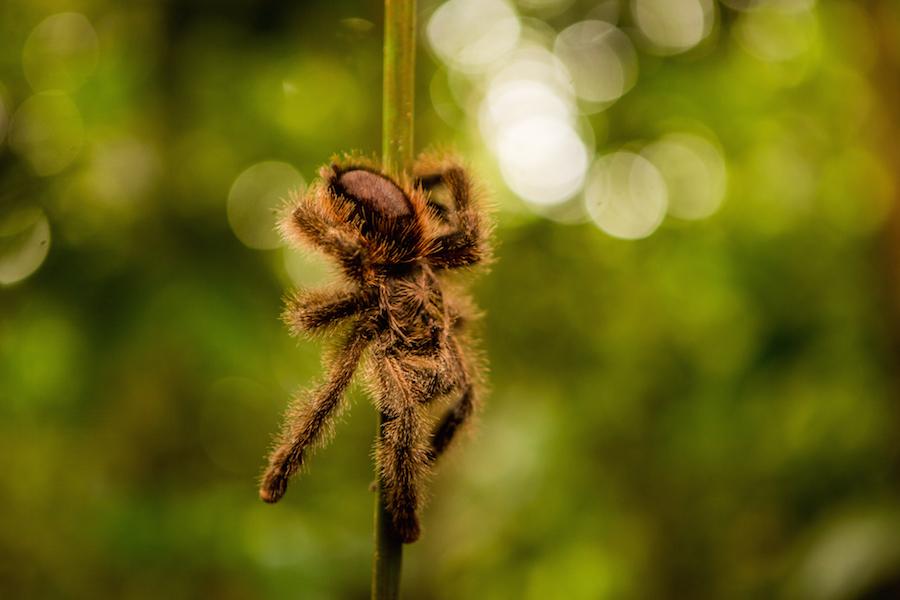 Spiders of the Amazon   Rainforest Cruises - photo#27