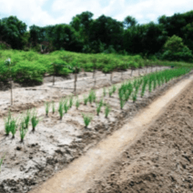 Reforestation on the Nanay River
