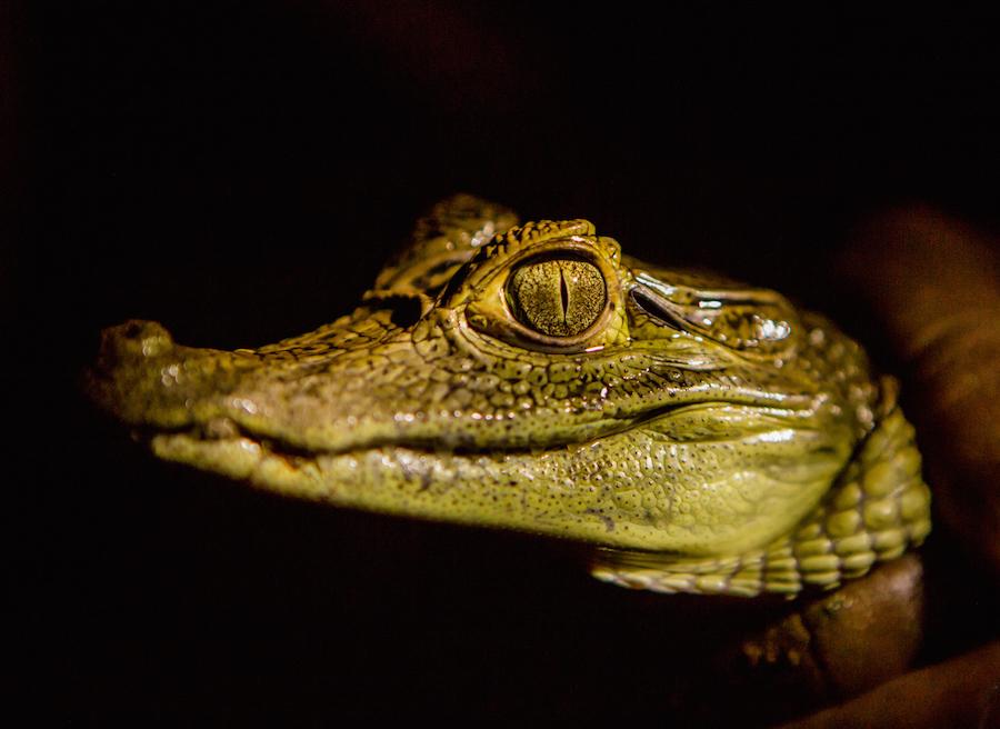 Amazon Caiman Facts Rainforest Cruises