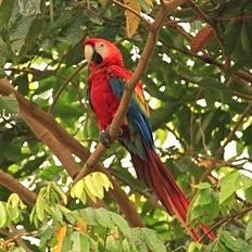 Amazon Macaw.JPG
