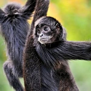 Spider+Monkey.jpg