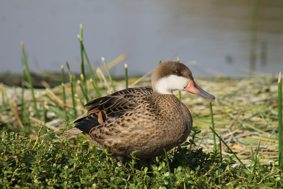 The white-cheeked pintail (Anas bahamensis)