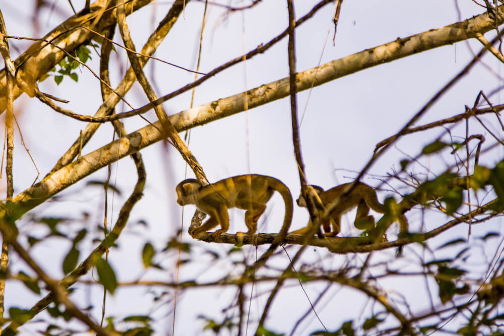 Amazon monkeys canopy