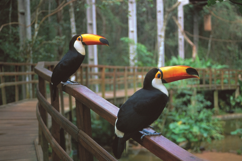 Toucans at the Bird's Park