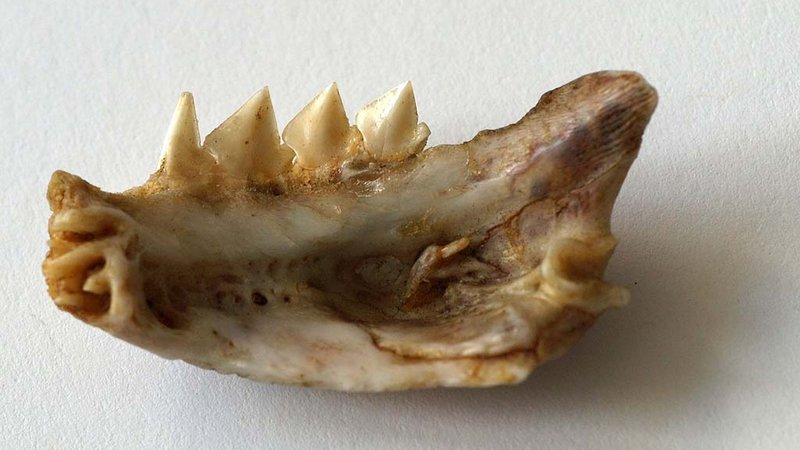 The jaw bone of a red-bellied piranha (Pygocentrus nattereri) specimen.(Ph. Wikimedia Commons/Sarefo)