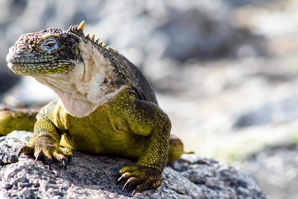 Lang Iguana Galapagos Islands
