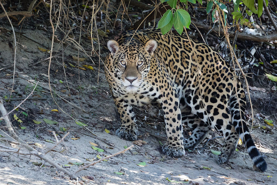 Jaguar in the Pantanal Region (Ph. Wikipedia)