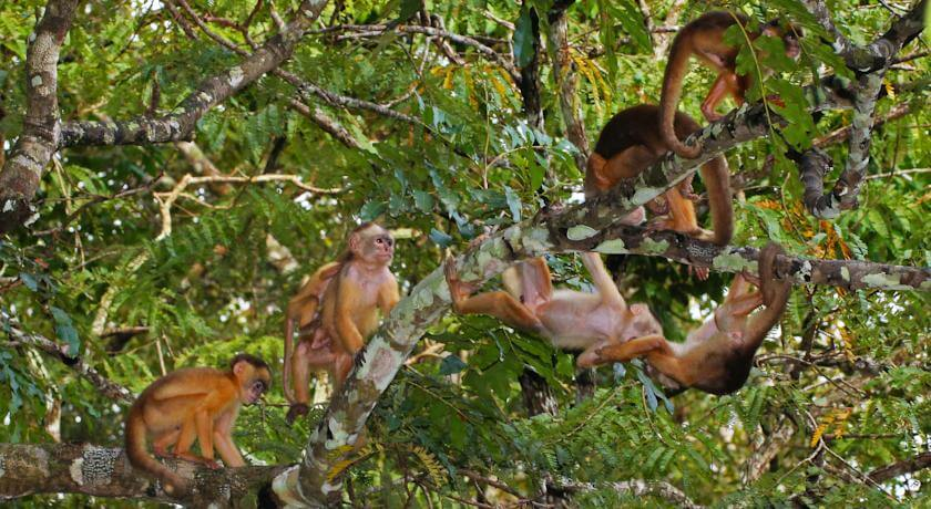 Amazon Squirrel Monkeys