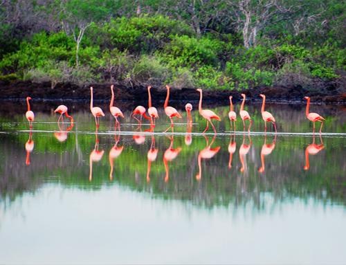 Galapagos Flamingos