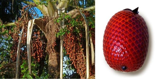 Amazon River tour -Aguaje Medicinal Fruit of the Amazon