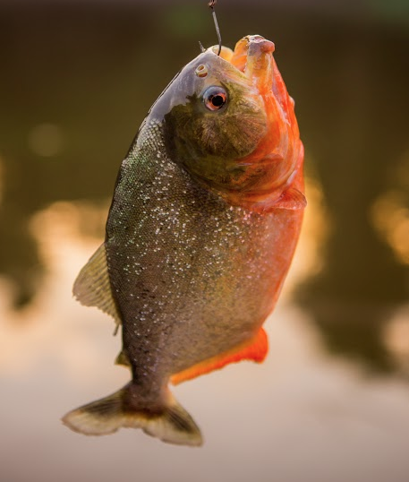 Red-bellied piranha in the Amazon River