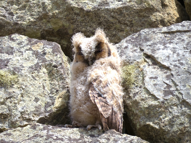 Rare Owl sighting at Machu Picchu