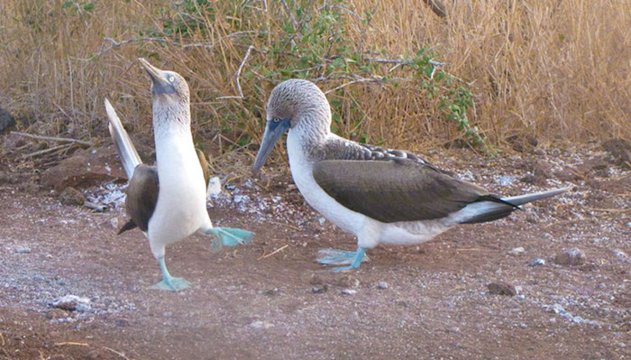 blue footed boobies mating rituals