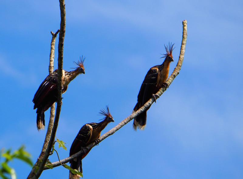 Amazon birding