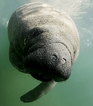 Manatee Project