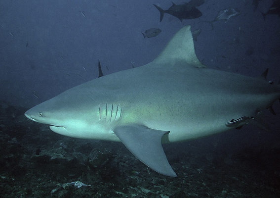 amazon bull shark