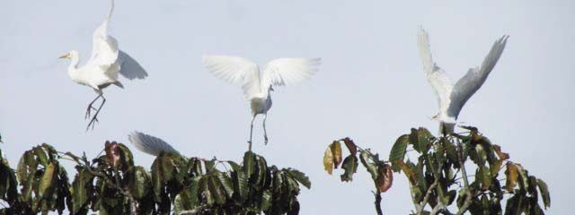 Egrets seen on Lo Peix Amazon Cruise