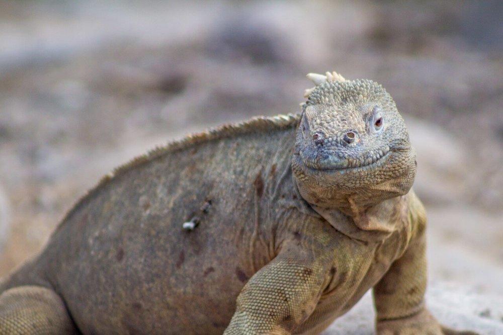 land iguana galapagos tour