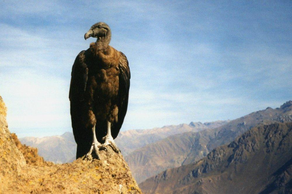 Andean Condor Colca Canyon