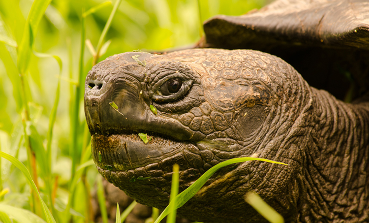 Galapagos Tortoise Appearance