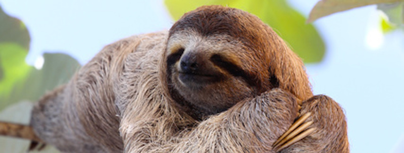 Sloths can be spotted on a Spondias Amazon Cruise