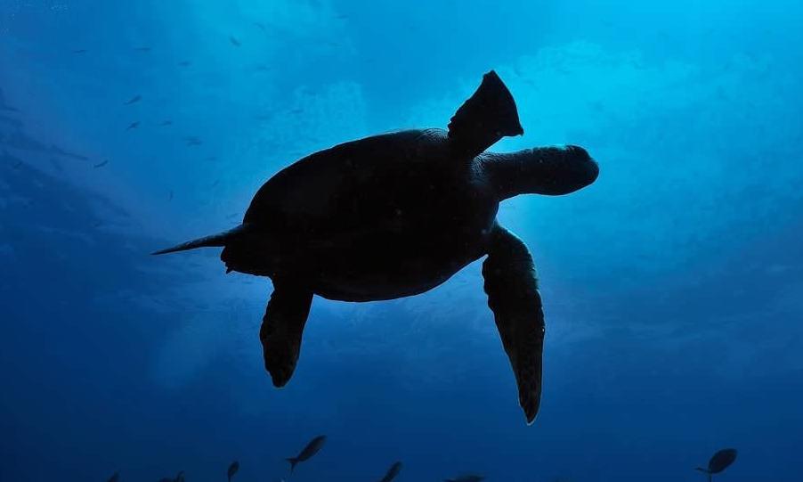 Scalesia Galapagos Lodge Sea Turtle