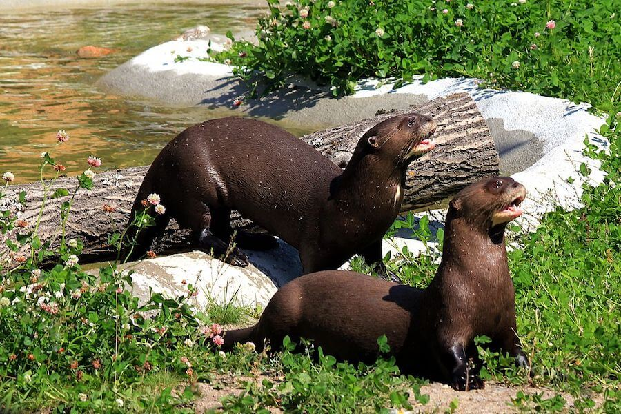 Amazon River Otters - ph. Calle Eklund/V-wolf