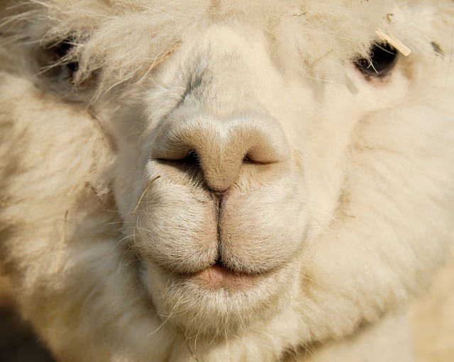Alpaca Facts