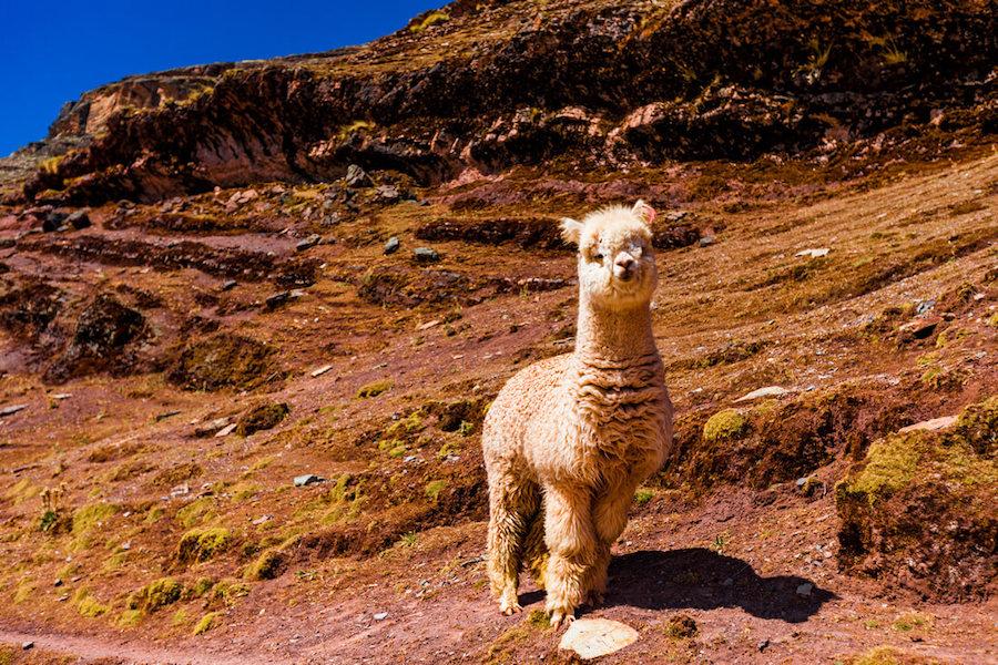 Peru Alpaca Facts