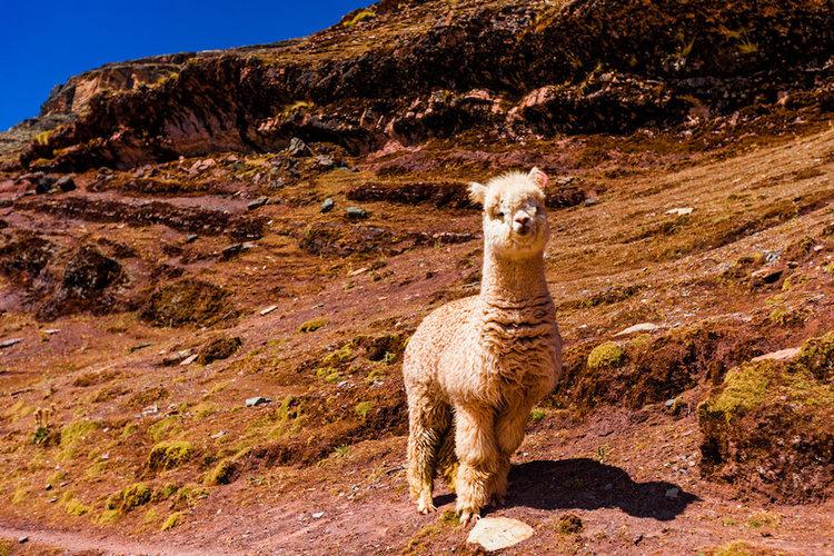Peru Alpaca
