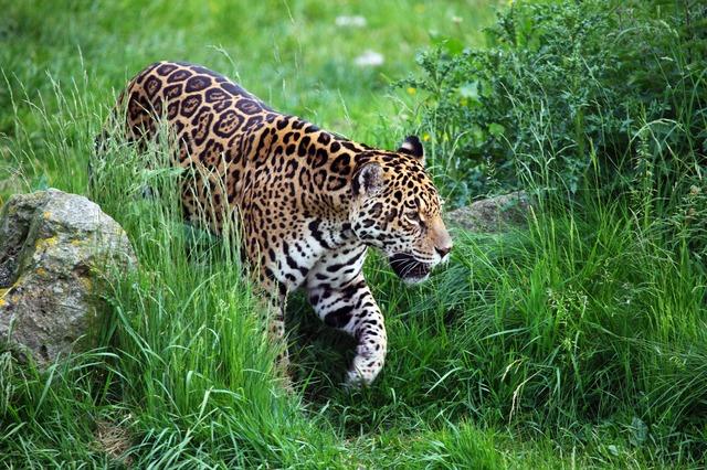 Jaguar in Pantanal