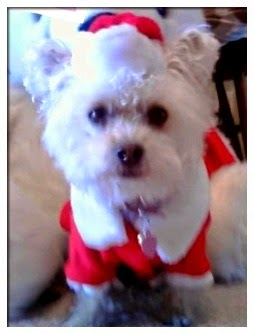 Dog in red and white santa outfit