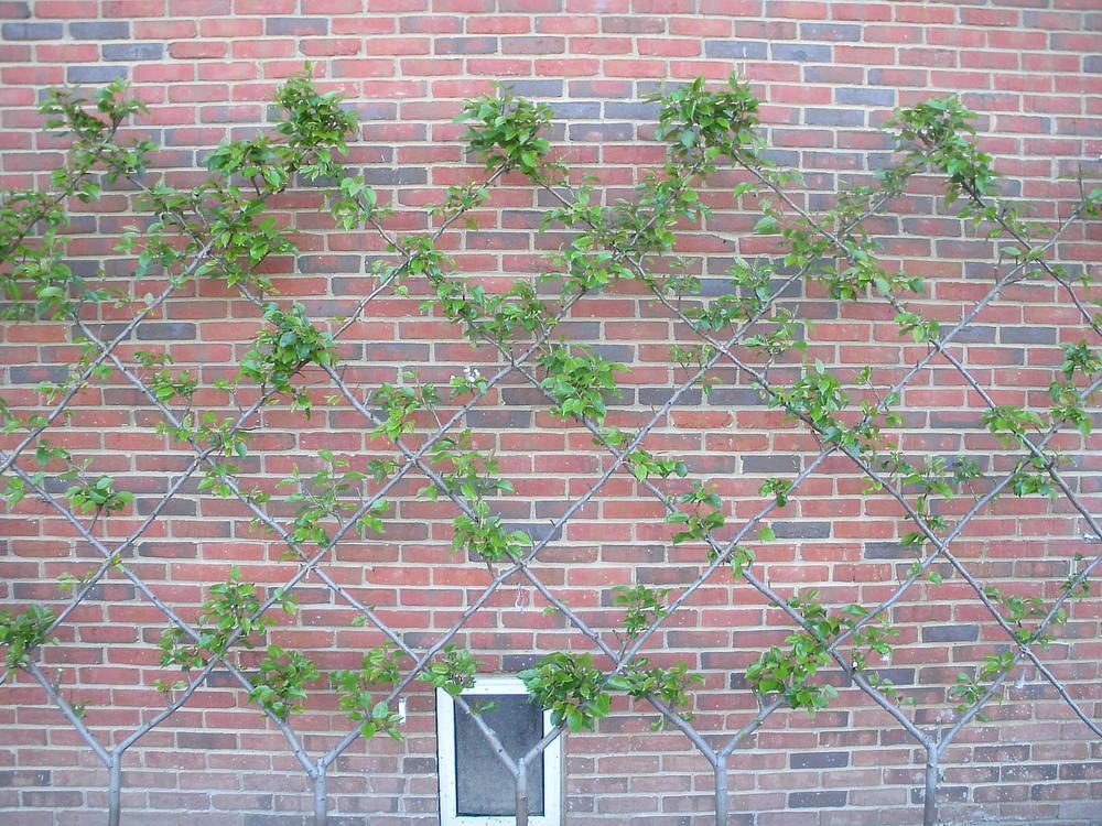 Justin Stelter Landscape Gardening - Espalier Installations - 3774811973_03b67f6b85_o.jpg