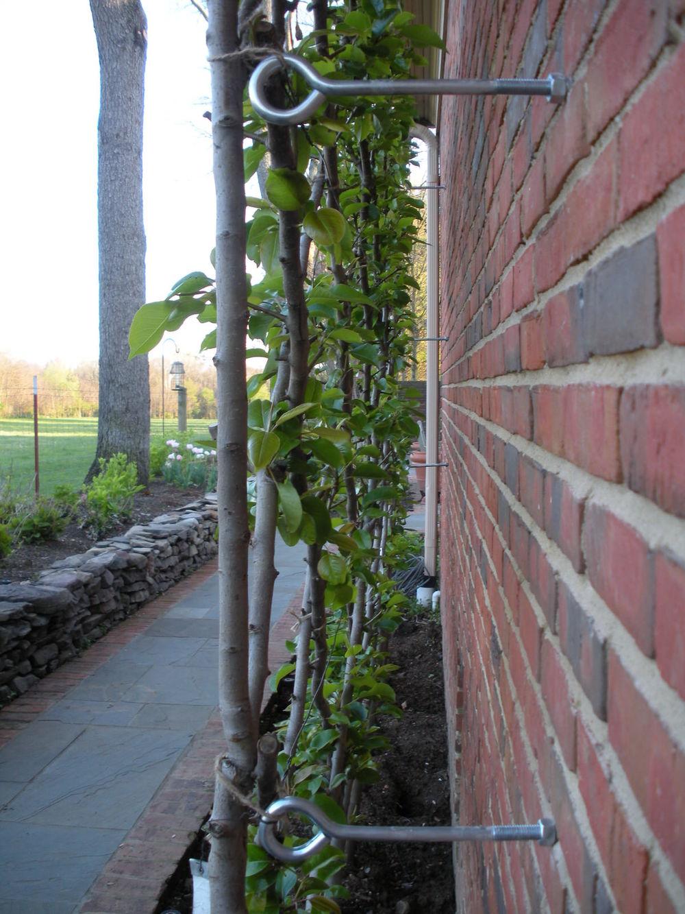 Justin Stelter Landscape Gardening - Espalier Installations - 3774835529_eb9b86da6f_o.jpg
