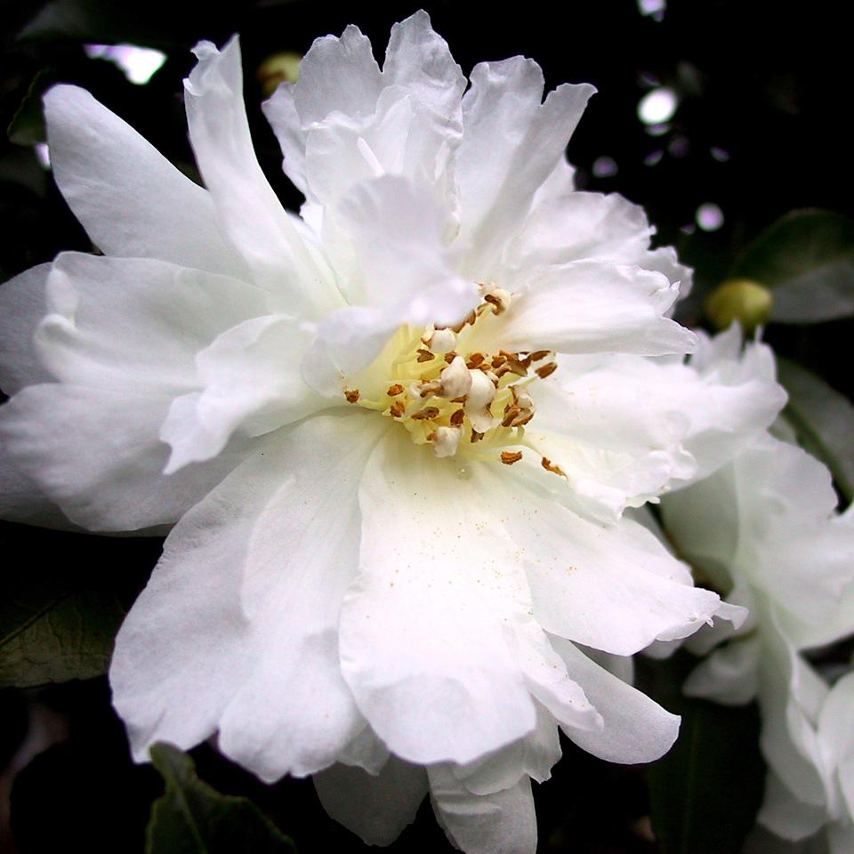 Camellia sasanqua ***