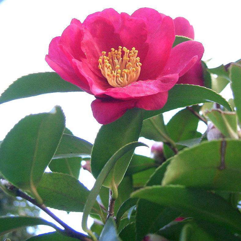Camellia sasanqua  'Yuletide'**
