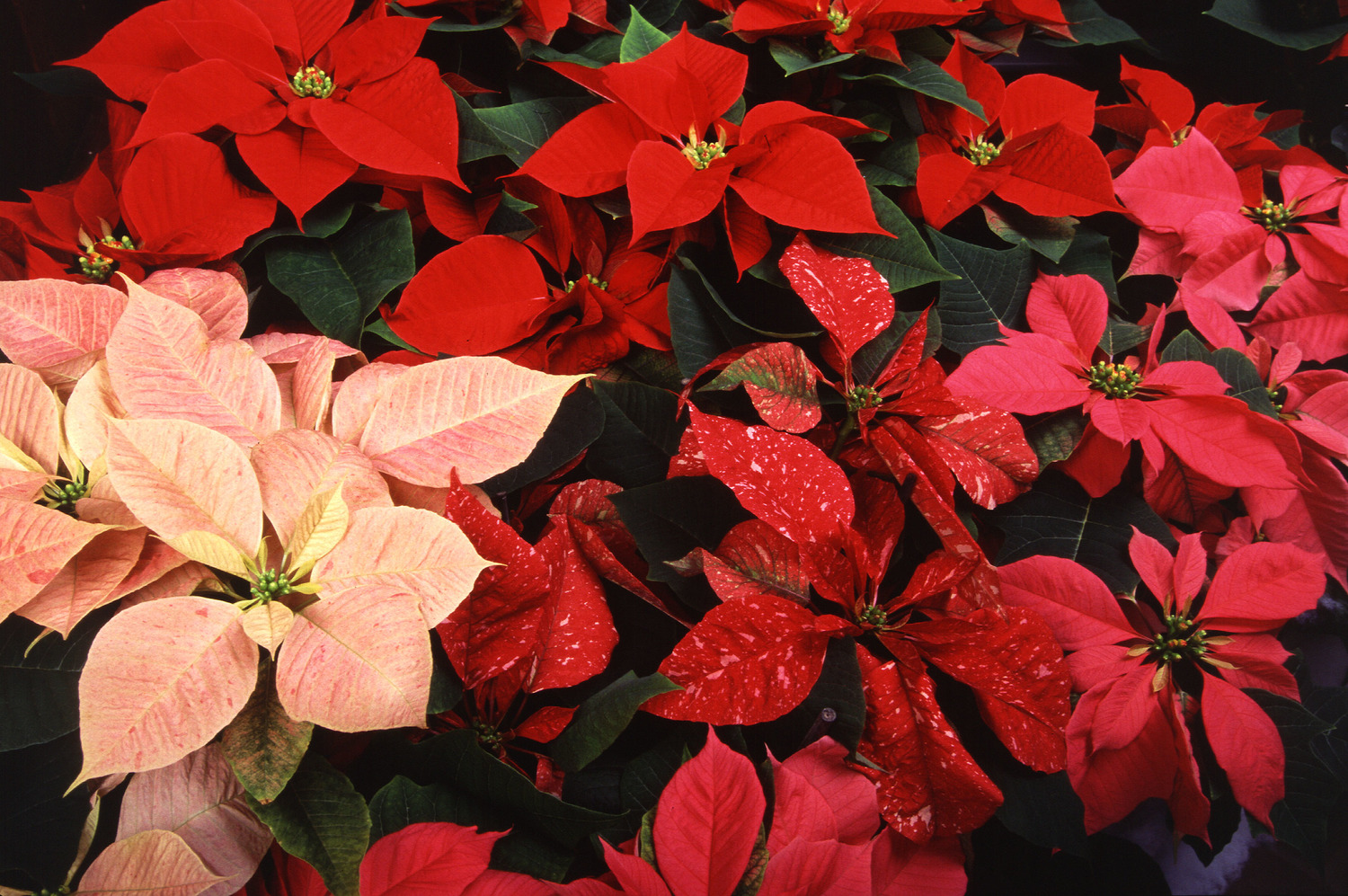 Christmas Imagery.Poinsettias Christmas Imagery Justin Stelter Landscape