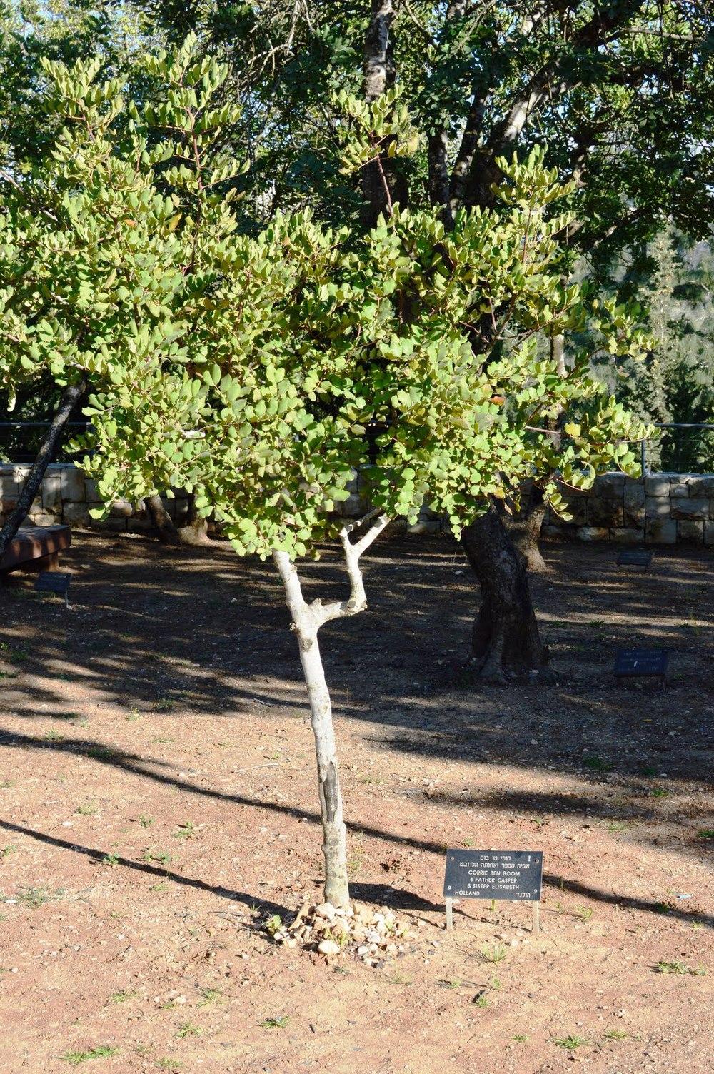 Árvore plantada por Corrie na Alameda dos Justos