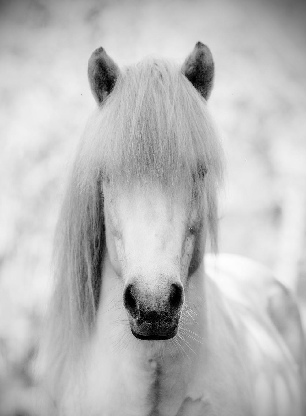 Bjartur frá Aquadraat, best bred Icelandic stallion '14