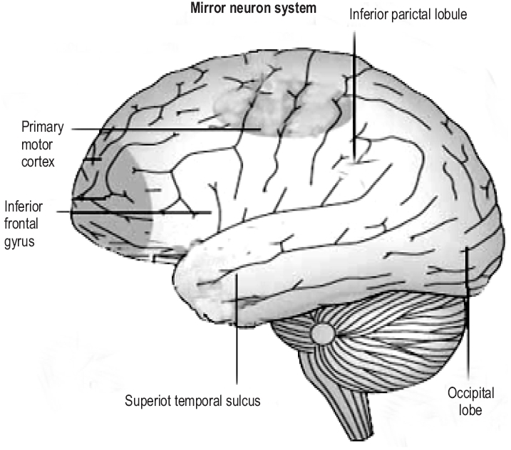 Brain regions that include a majority of mirror neuron activity