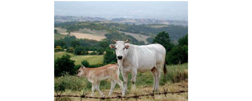 Chianina_cow_and_calf__Tuscany.jpeg