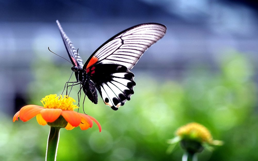 Wallpaper-HD-Beautiful-Butterfly-on-Orange-Flower.jpg