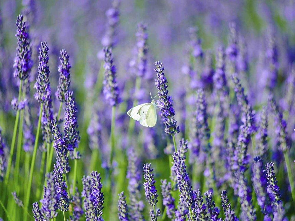 lavender-pruning.jpg