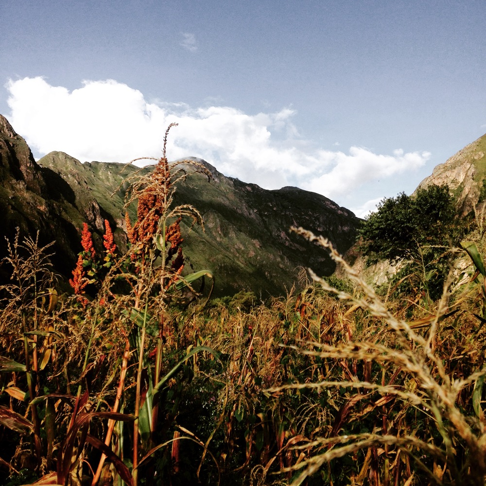 Quinoa growing wild, Ollantaytambo, Peru