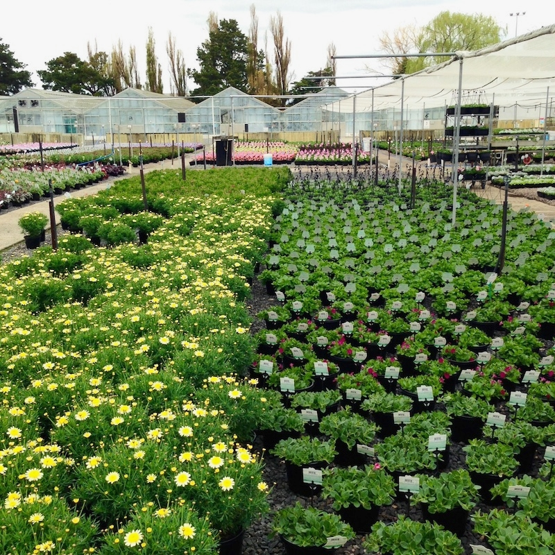 Our contract seedling growers spend most of their time growing flowers for the nursery trade.