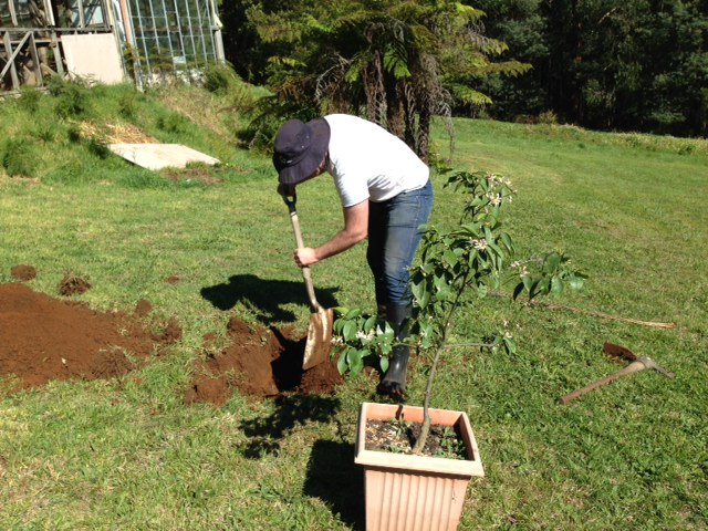 Oliver planting the first new addition to our farm - a Meyer lemon tree.