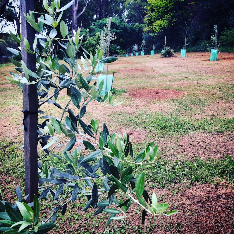 The beginnings of an olive grove.